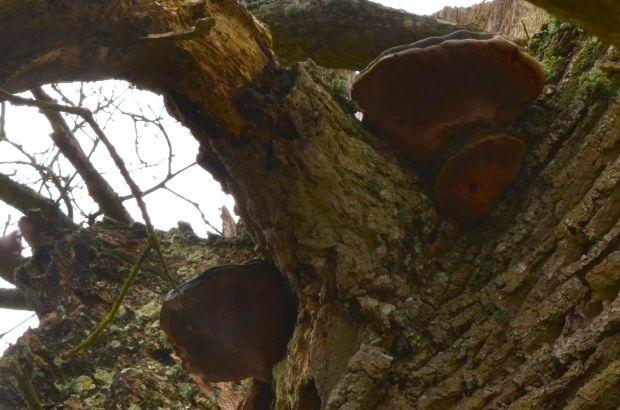 Bracket fungus (Phellinus robustus) in an oak tree