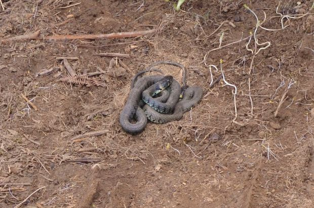 Grass snakes (Natrix natrix)