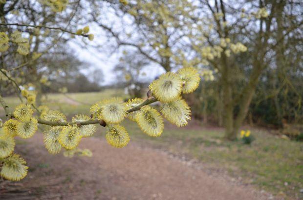 Sallow (Salix caprea i think) catkins