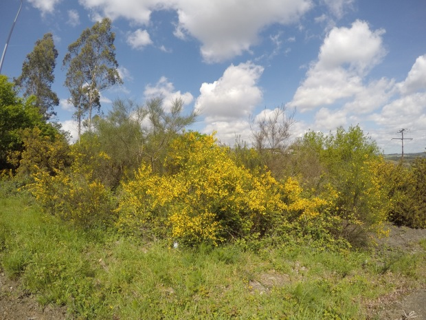 Gorse and broom