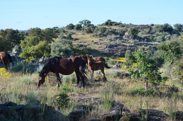 Gerrano horses with foal