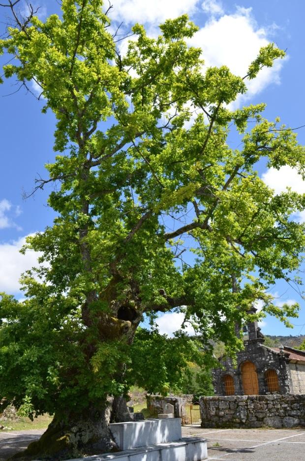 Oak bush