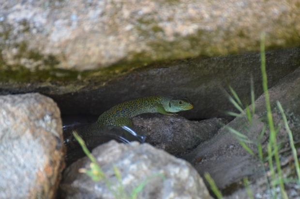 Campsite lizard