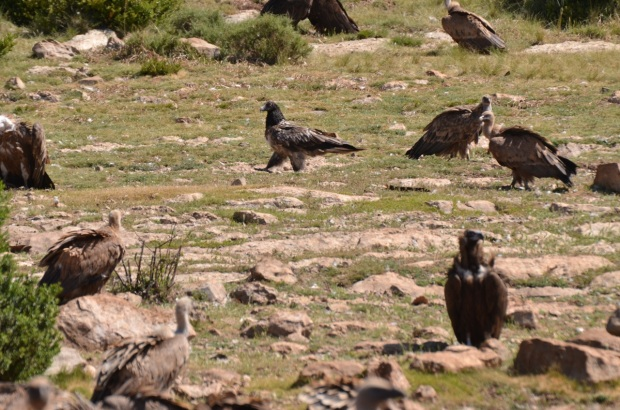 Bearded vulture strutting around at the back