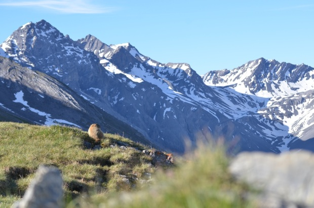 Marmot scanning the valley