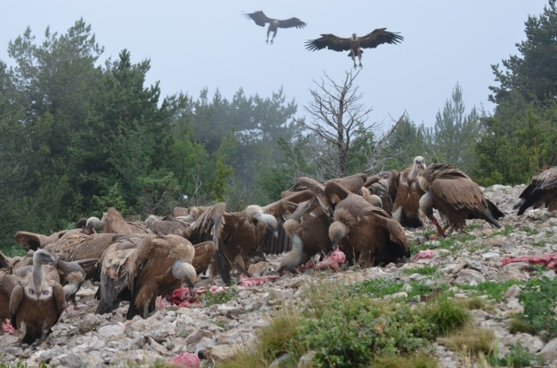 Vultures arriving