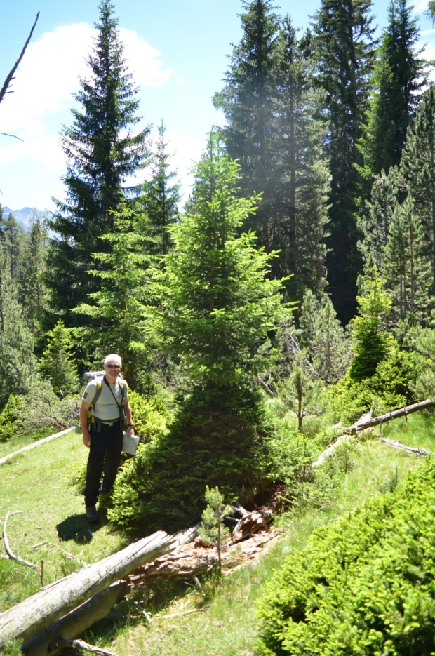 Ruedi with a browsed spruce that has made its escape!