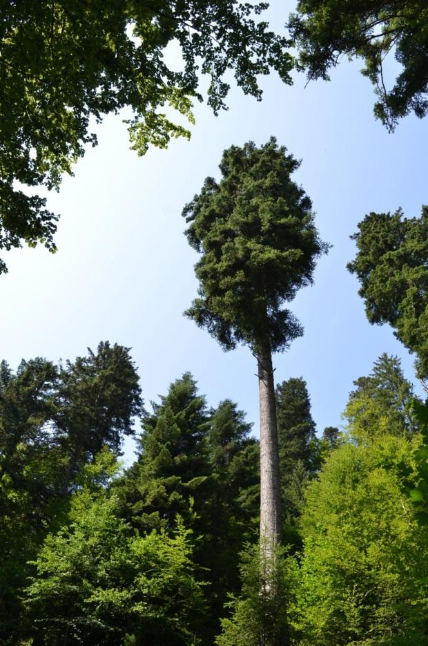 2 big tree