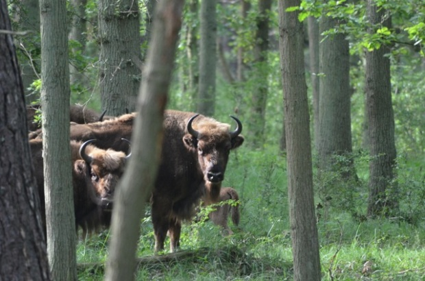 Bison hanging out in the woods