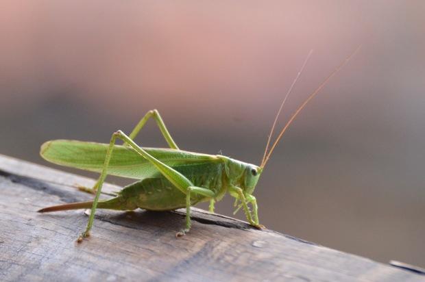 07 grasshopper