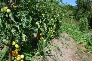 Tomatoes producing fruit