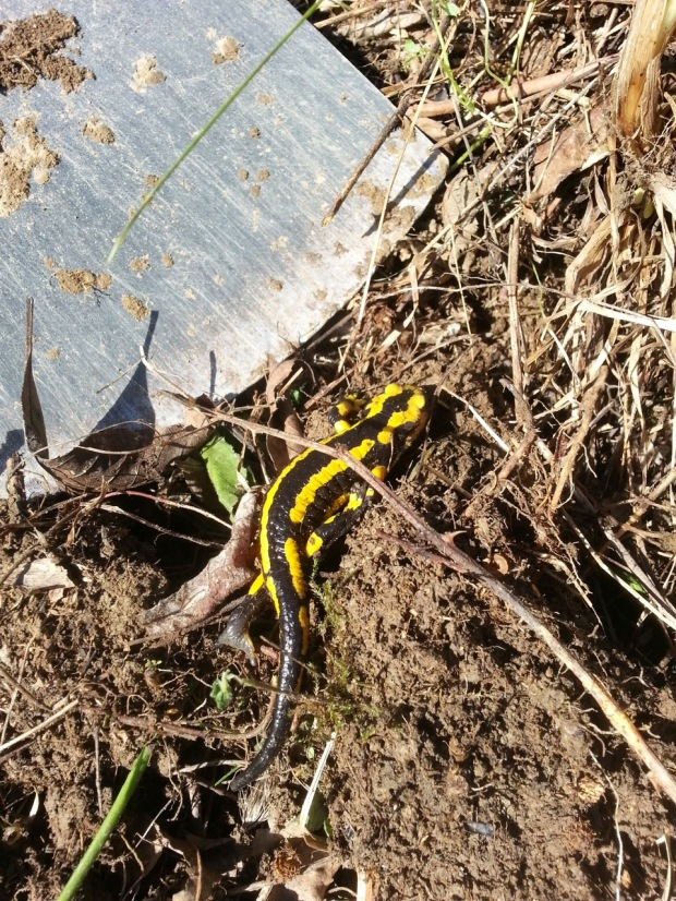 06-fire-salamander