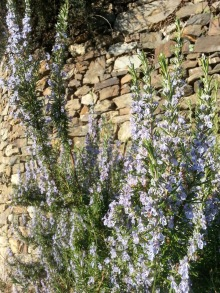Rosemary bush in full bloom