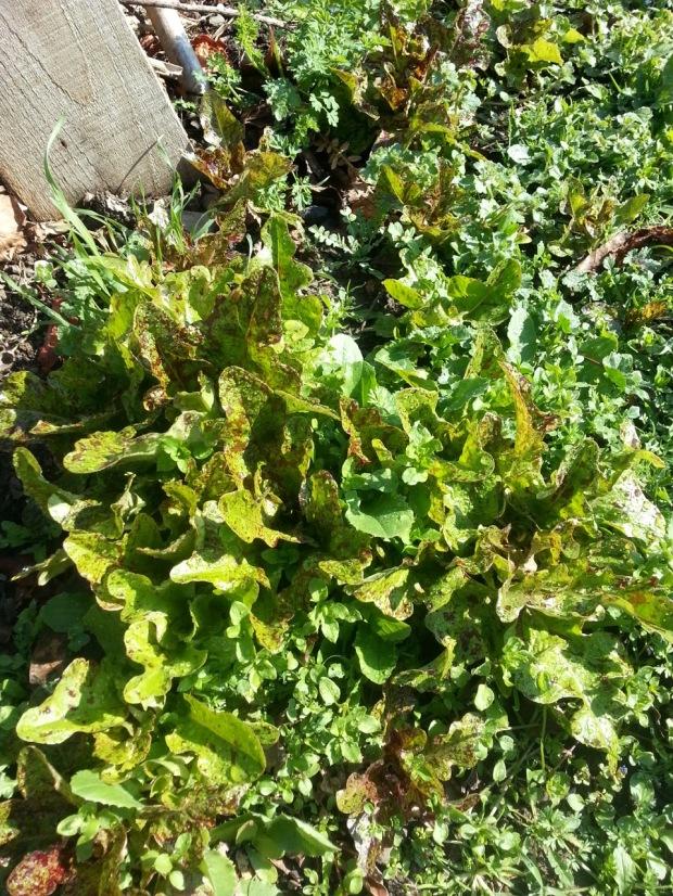 3-lettuce
