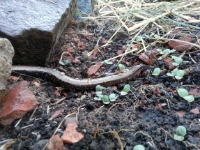 Slow worm in the lettuce patch