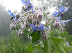 Borage flowers just emerging