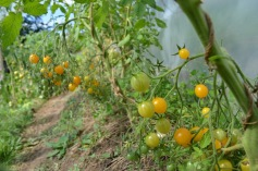 Tiny tomatoes - millefleur