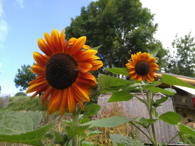 Velvet queen sunflowers