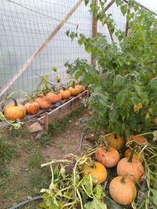Curing pumpkins in the greenhouse